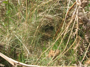Subtle or what? A Willow Warbler's nest.
