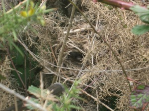 A work of art as well as being excellently camouflaged  . . . a Chiffchaff's nest.