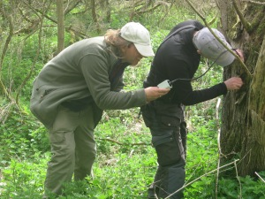 Excitedly wielding an endoscope, Dave and Mike look into a Treecreeper's nest. Endoscopes aren't an essential bit of kit, but useful for hole nesters.