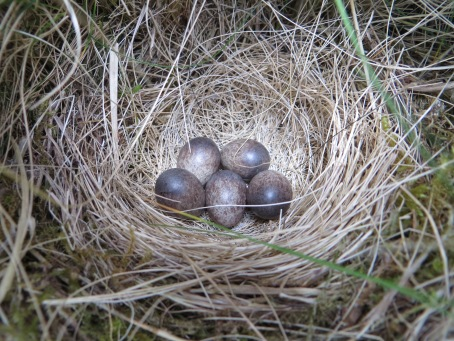 Meadow Pipit Nest 2015 b
