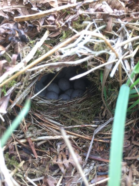Tara - Willow Warbler Nest